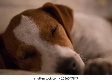sleepy dog, cute puppy tired taking a nap, drowsiness, heaviness , jack russell terrier dreaming, adorable, hugh, baby dog, pets are family, animal inside the house