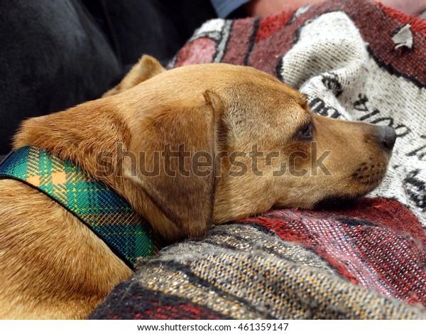 Sleepy dog in lap