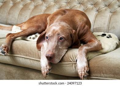 Sleepy dog on a couch