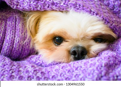 sleepy dog in purple scarf with the face close up