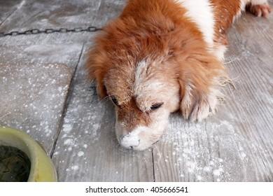 Sleepy dog: Songkran's day