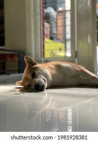 Sleepy Doggo after Playing with Hooman