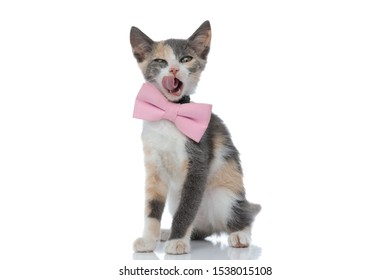 Sleepy domestic cat yawning and licking its nose while wearing a pink bowtie and sitting on white studio background