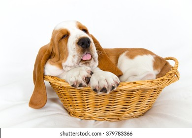 sleepy eight week old Basset hound puppy getting a bit big for his basket sticks out his tongue