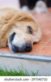Sleepy Face Golden Retriever Dog