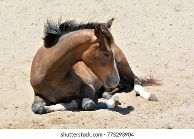 Sleepy foal lying in the sand outdoors.
