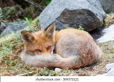 Sleepy fox worming up it's nose