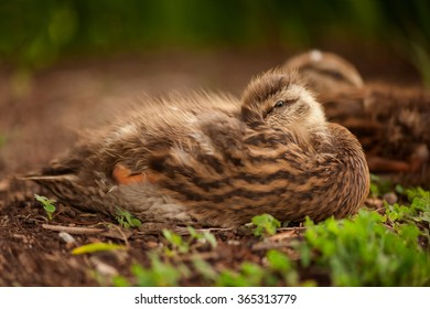 Sleepy fuzzy Duckling on river bank with Mother