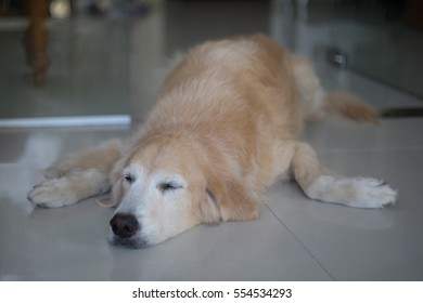 Sleepy golden retriever