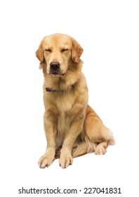 sleepy golden retriever isolated in white background with clipping path