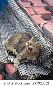 Sleepy grey cat yawning