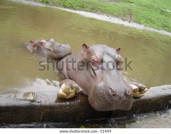 sleepy hippopotamus