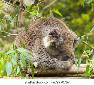 Sleepy Koala : A koala catches up on a nap amongst the gum leaves
