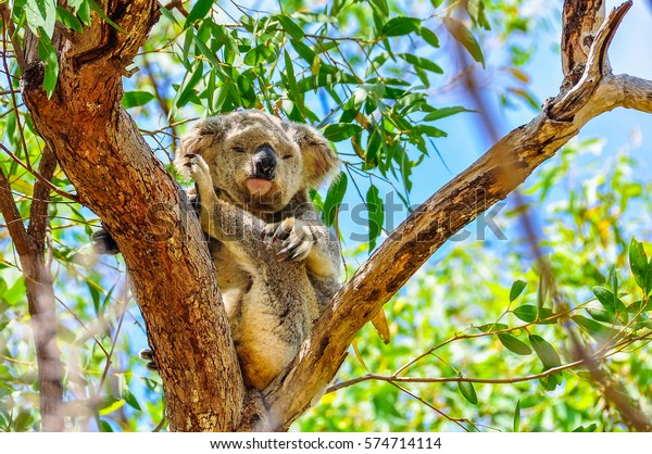 Sleepy koala scratching itself in Magnetic Island, Queensland, Australia