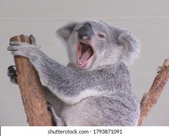 Sleepy koala is yawning in the tree.