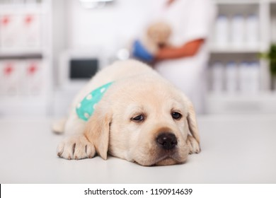 Sleepy labrador puppy dog lying on the table at the veterinary doctor office - feeling safe and relaxed