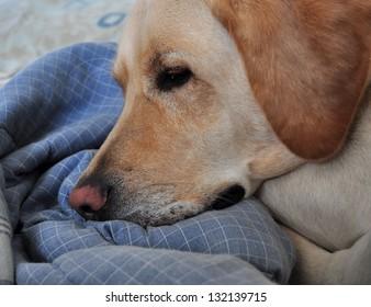 Sleepy Labrador Retriever