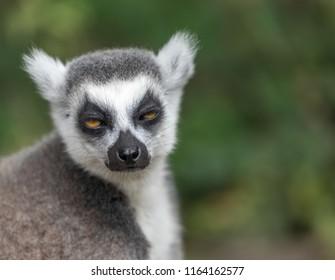 Sleepy lemur, eyes half closed, funny
