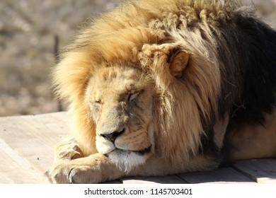 Sleepy lion at the Aquila Private Game Reserve in South Africa