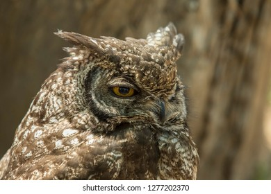 Sleepy looking Eagle owl sitting with one eye open in warm sunshine