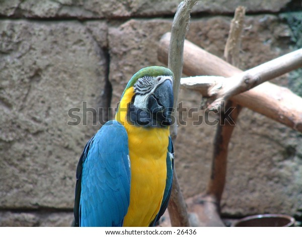 Sleepy macaw, blue and gold