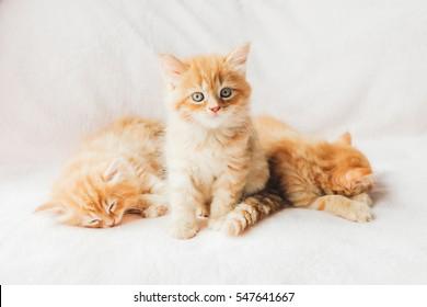 Sleepy mainecoon kittens