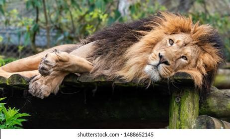- Sleepy male lion in captivity