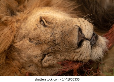 A sleepy male lion rests his head on a log. His eyes are half-open, and he has several scars on his face.