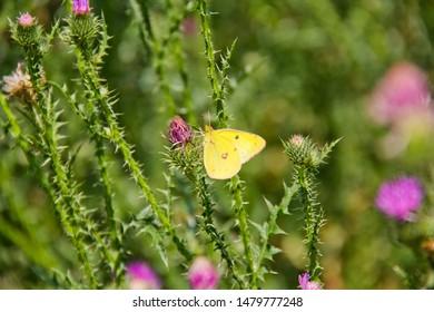Sleepy Orange Sulphur butterfly on purple Pasture Thistle