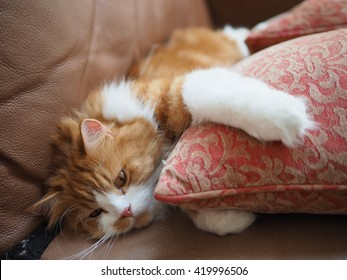 Sleepy Orange Traditional Doll Face Persian Cat Laying on Couch Hugging Pillow