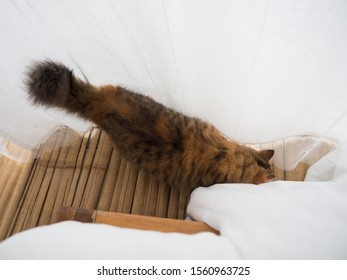Sleepy Persian cat kitten sleeping at window pane on wooden floor in the early morning in front of white curtains