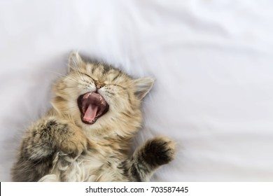 sleepy persian kitty cat yawning and laying down on white blanket. copy space and selective focus.
