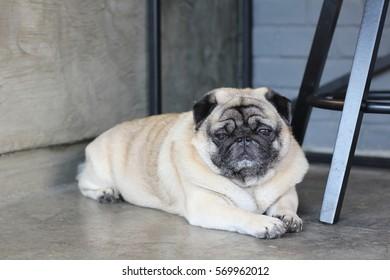 sleepy pug dog