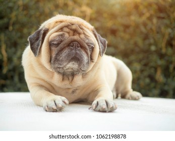Puggy dog images stock photos vectors shutterstock sleepy pug dog lazy dog fell sleepy thecheapjerseys Image collections