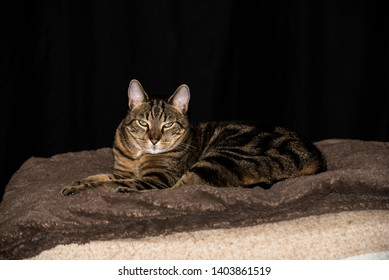 Sleepy, relaxed house cat with striped fur lays down on a blanket with eyes half open and ears perked up
