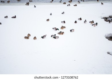Sleepy resting ducks on ice floe close-up, drifting ice on the river Winter, spring in city. Seasons. Arrival of spring.