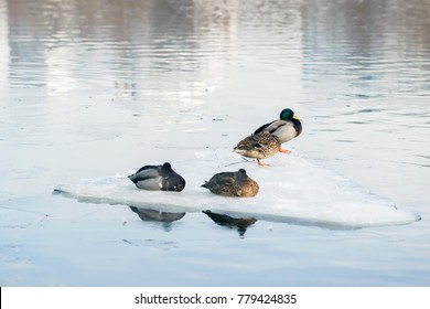 Sleepy resting ducks on ice floe close-up, drifting ice on the river. Winter, spring in city. Seasons. Arrival of spring.