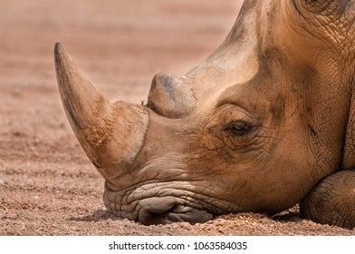 The Sleepy Rhino