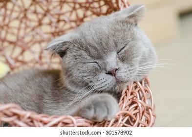 Sleepy scottish fold cat. Soft focus.