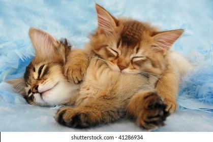 sleepy somali kittens take a nap