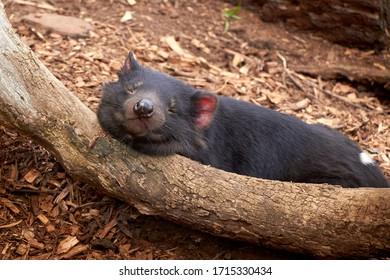 Sleepy Tasmanian devil, Australian wildlife