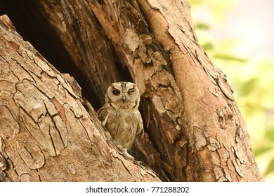 Sleepy and Tired Collared Scops Owl resting on tree branch