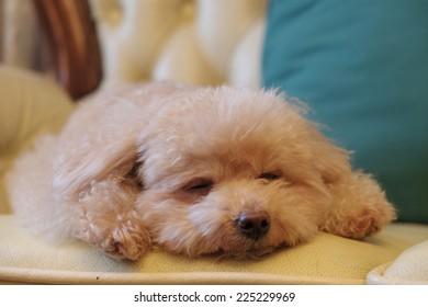 sleepy toy poodle
