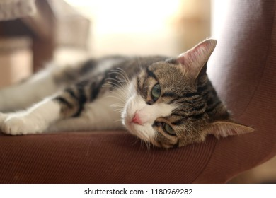 Sleepy white and brown tabby cat at home. Head close-up, selective focus.