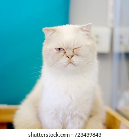 Sleepy white Persian cat in a cat cafe