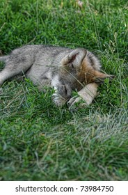 Sleepy Wolf Pup