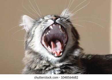 sleepy yawing cat
