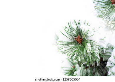 Sleet. Snowy pine tree decorated with icicles close-up, nature panoramic view