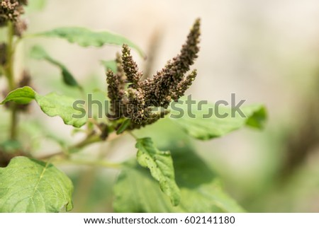 Slender amaranth Amaranth Green