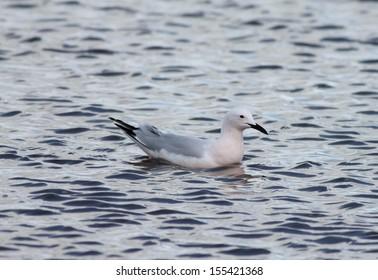 Slender Billed Gull on the water